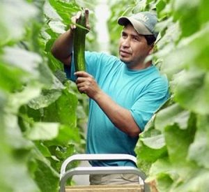 Foreign workers Disappear From Canadian Farms