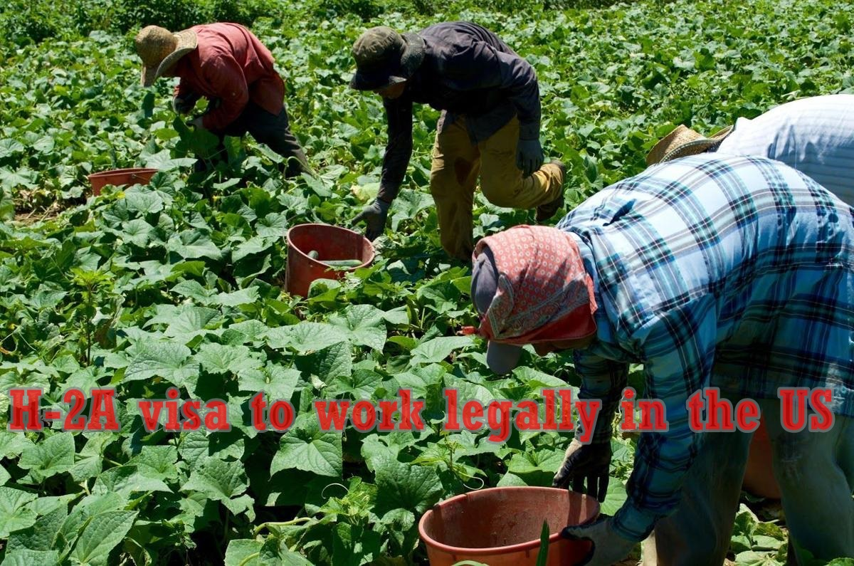 Temporary Visa Program for Farmers as Guest Workers to survive in the US- How to get Job Fast